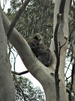 Koala 2