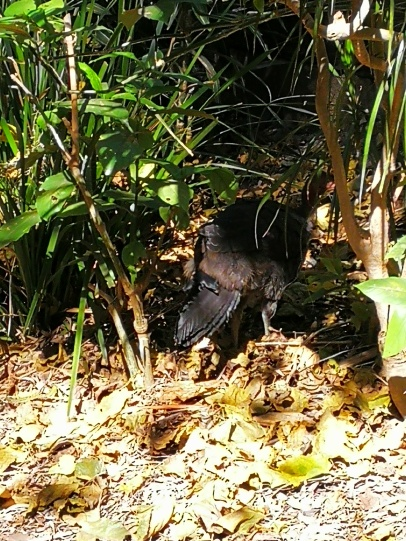 bush turkeys